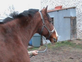 KARNET - Cheval de selle polonais né en 1993 - adopté en décembre 2009 par Sophie Gniada12