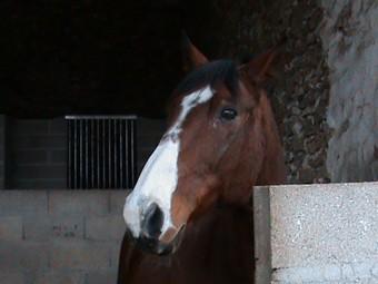 KARNET - Cheval de selle polonais né en 1993 - adopté en décembre 2009 par Sophie Gniada14