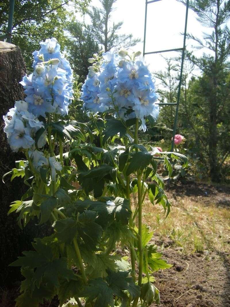 Les fleurs bleues Dscf0011