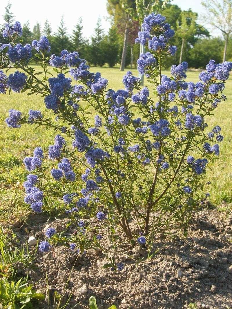 Les fleurs bleues Dscf0110