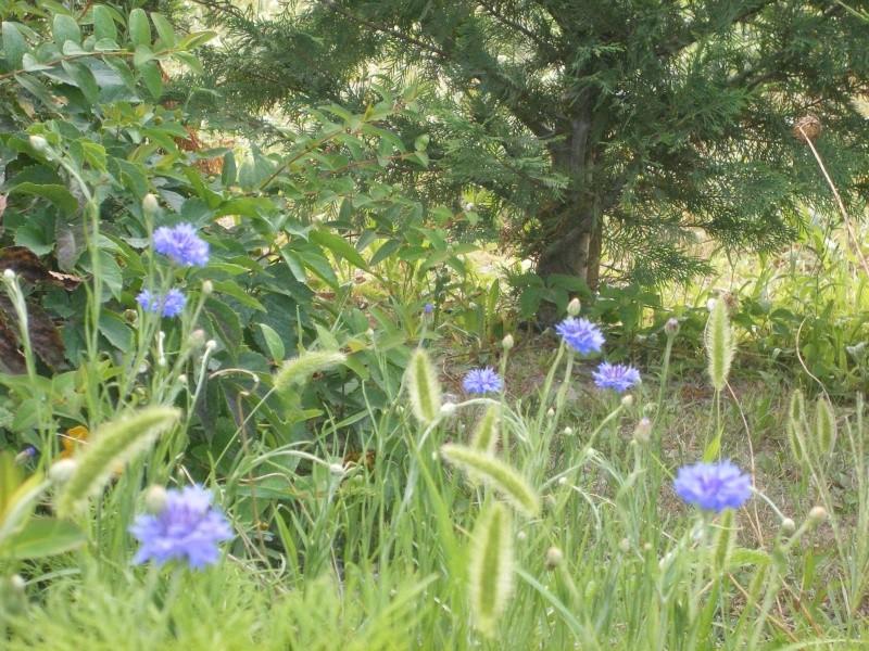 Les fleurs bleues Dscfle11