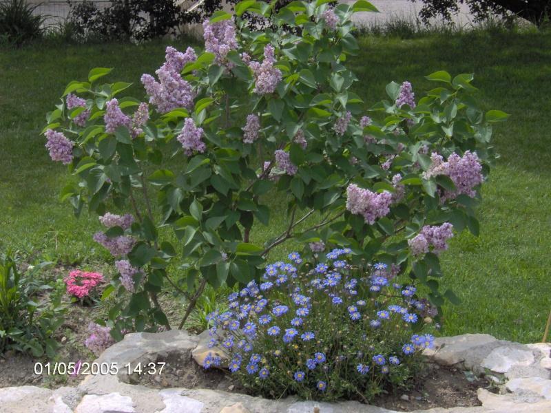 Les fleurs bleues Im000210