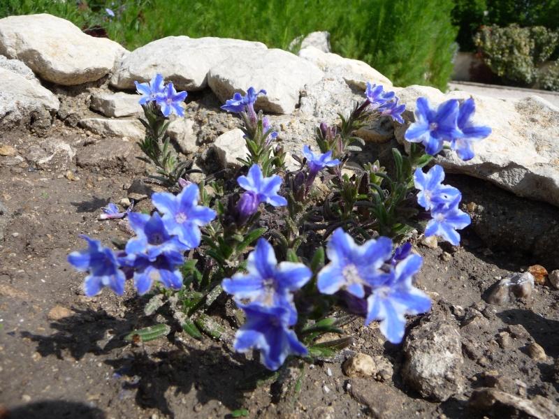 Les fleurs bleues P1010410