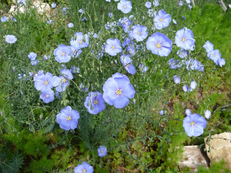 Les fleurs bleues P1010510