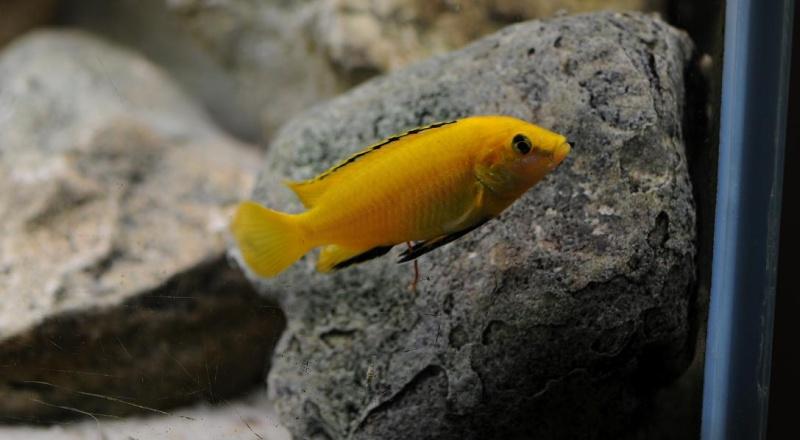Labidochromis caeruleus mbowe Reflex11