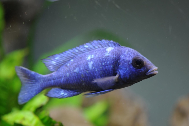 "Placidochromis sp. ""phénochilus tanzania"" Makonde Reflex12"