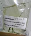 Elever nourriture vivante dans le bac pour poissons 2-4cm Img_2025