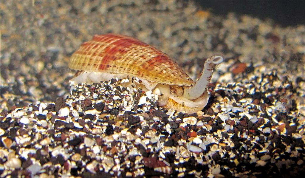 Conus fulgiconus marielae (Rehder & Wilson, 1975) Img_0711