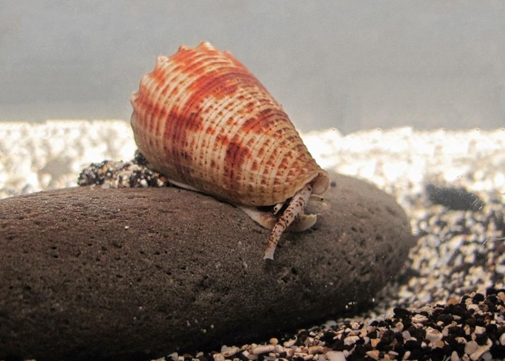 Conus fulgiconus marielae (Rehder & Wilson, 1975) Img_0712