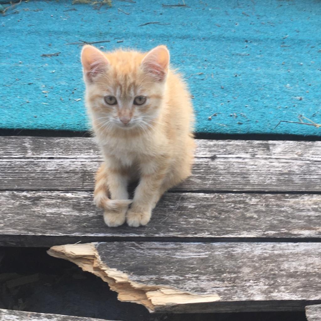 OEN, chaton roux de 3 mois - marrainé par Mahé Image125
