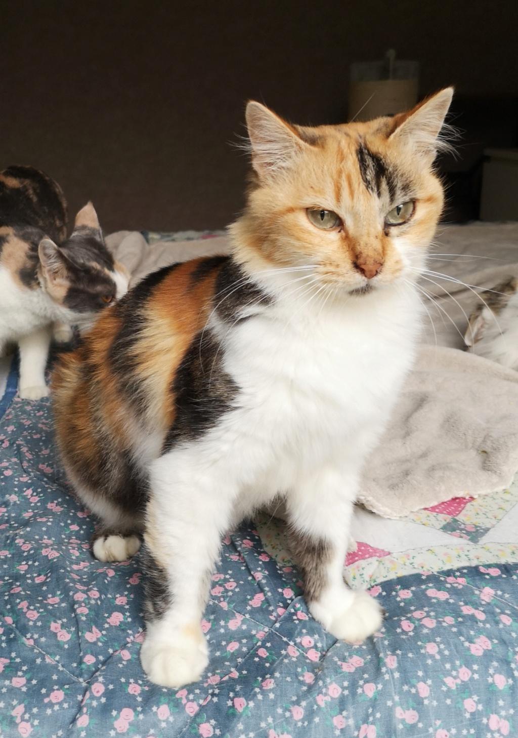INAYA  puce tricolore poils mi-longs d'environ 5 ans - marrainée par Harfeng et Ana Img_2149