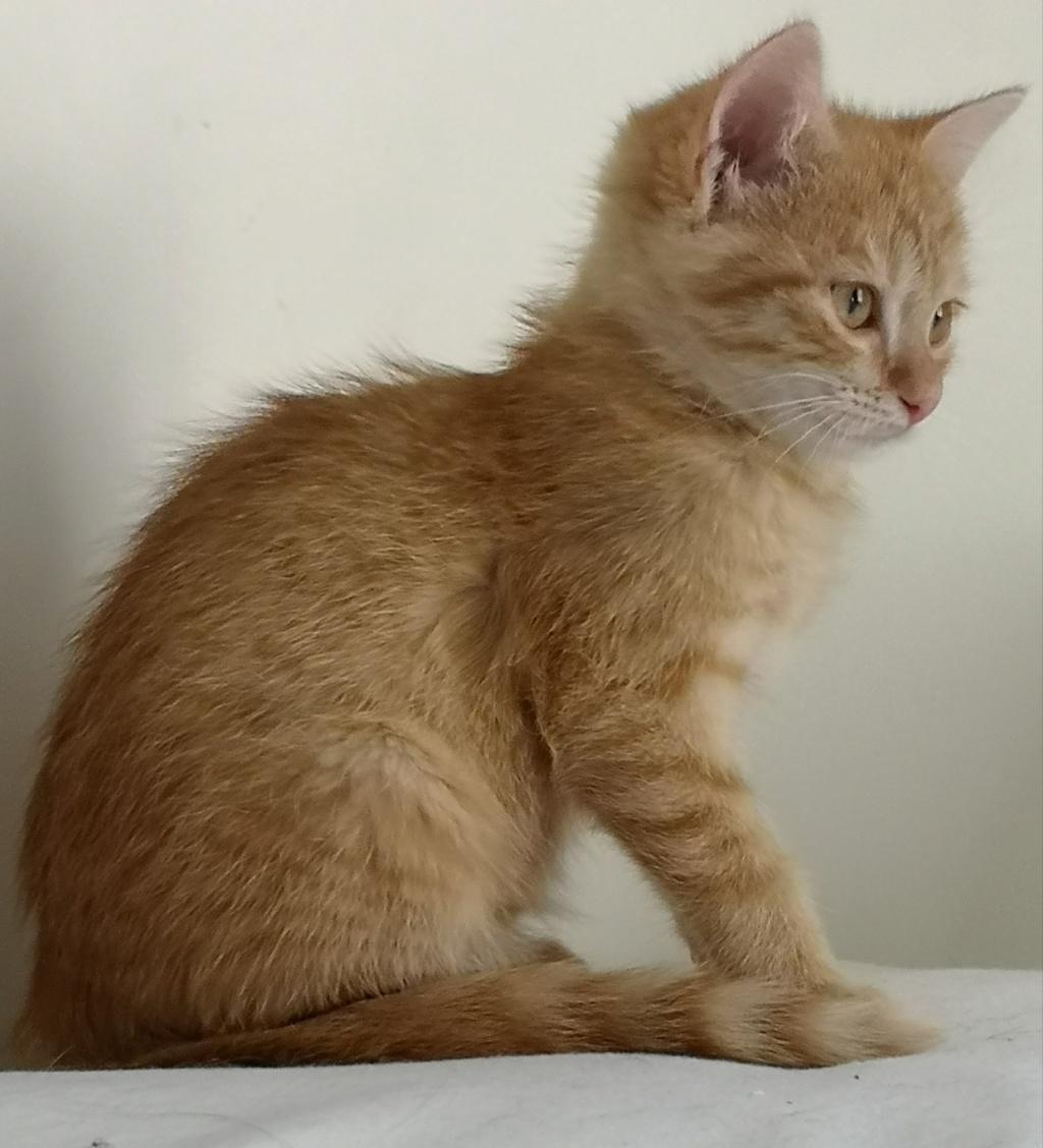 OEN, chaton roux de 3 mois - marrainé par Mahé Img_2231