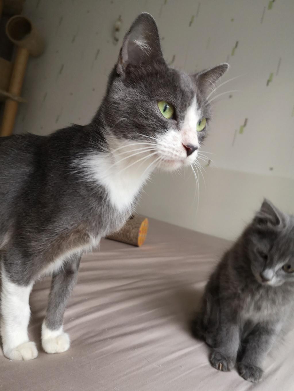 HILMA, jeune chatte femelle blanche et grise - réservée par Laure  Img_2350