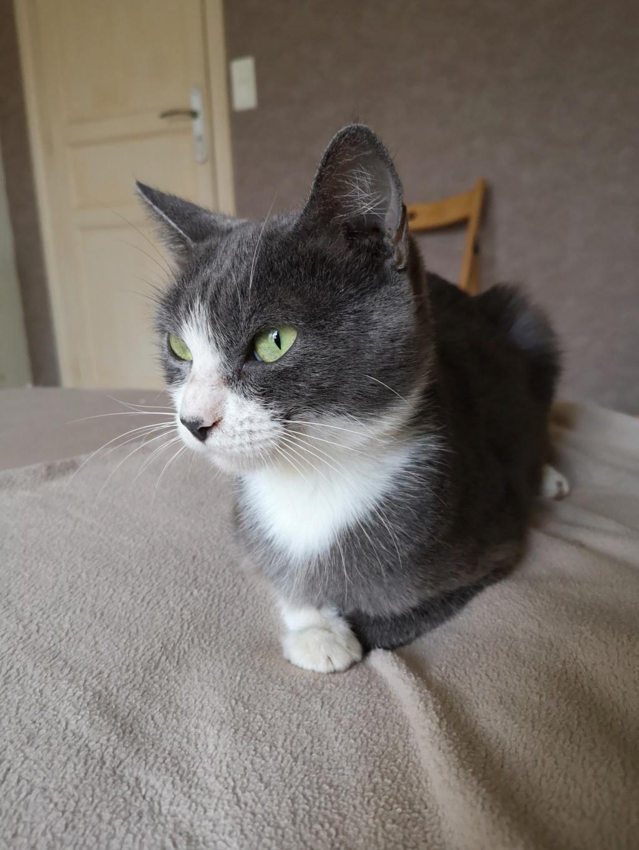 HILMA, jeune chatte femelle blanche et grise - réservée par Laure  Img_2351