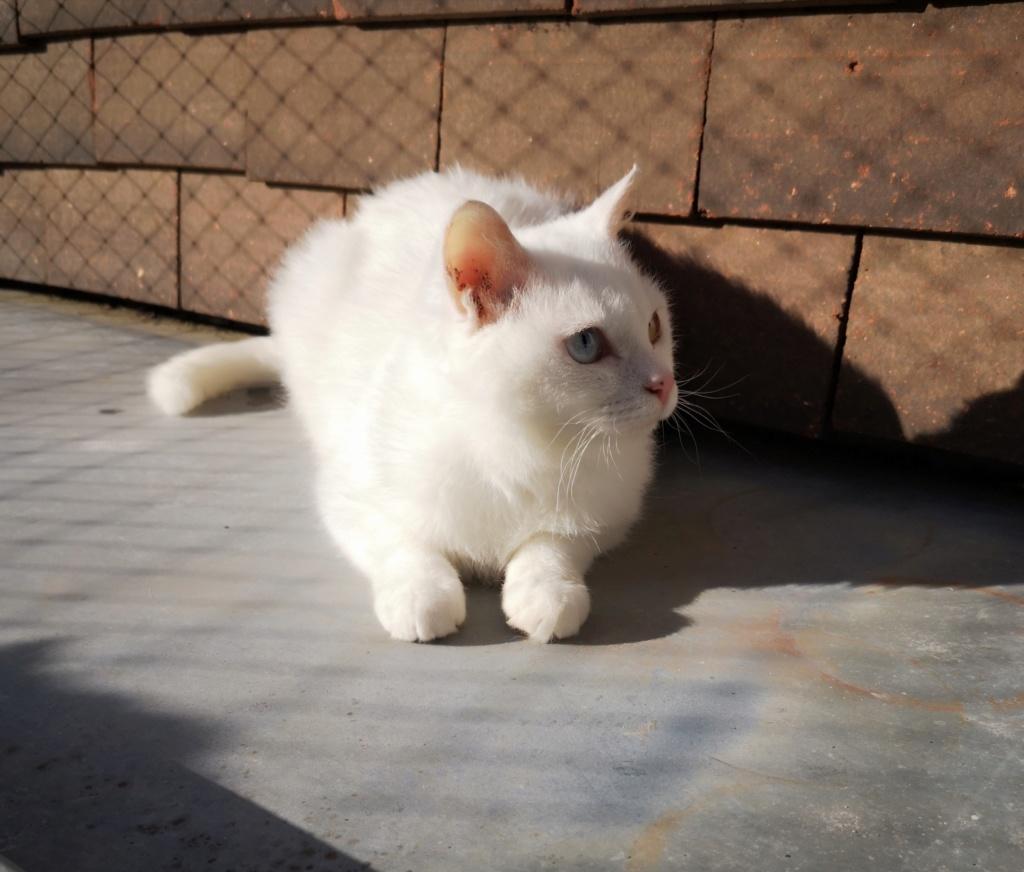 YSNAY, chatonne femelle blanche aux yeux vairons d'environ 7 mois-réservée par Sihame Img_2374