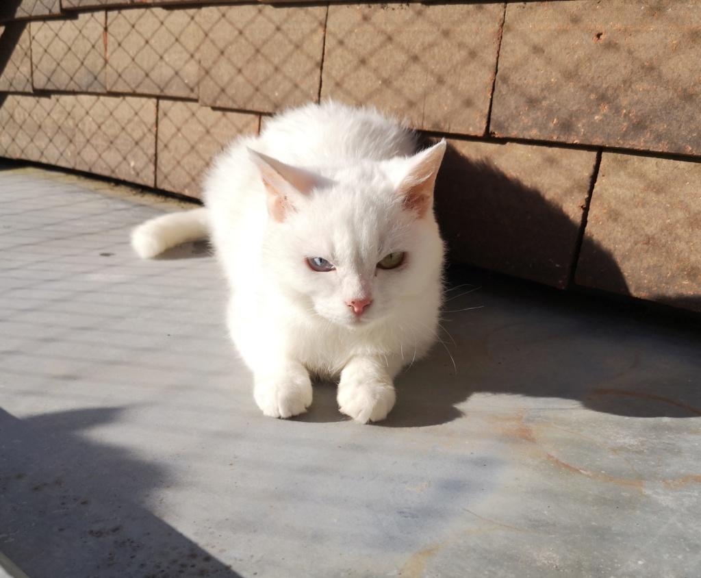YSNAY, chatonne femelle blanche aux yeux vairons d'environ 7 mois-réservée par Sihame Img_2375