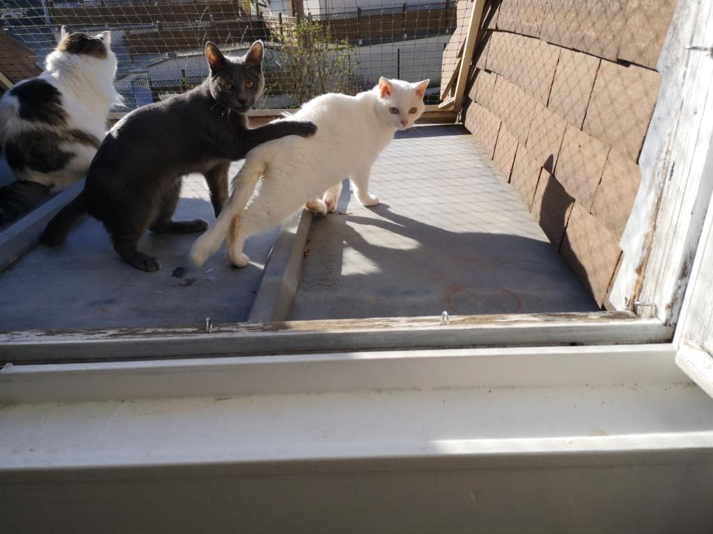 YSNAY, chatonne femelle blanche aux yeux vairons d'environ 7 mois-réservée par Sihame Img_2376