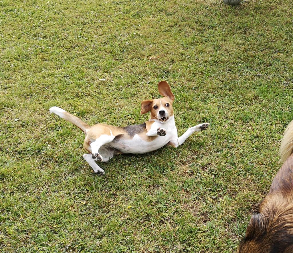 PUNCHY - chien mâle de 1 an - marrainé par Patricia - en observation chez Alpha Dog's House Img_2403