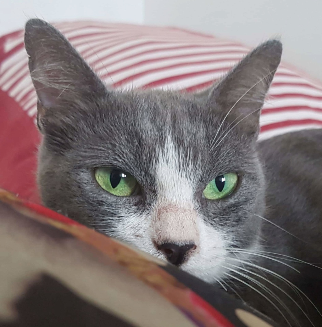HILMA, jeune chatte femelle blanche et grise - réservée par Laure  Recei146