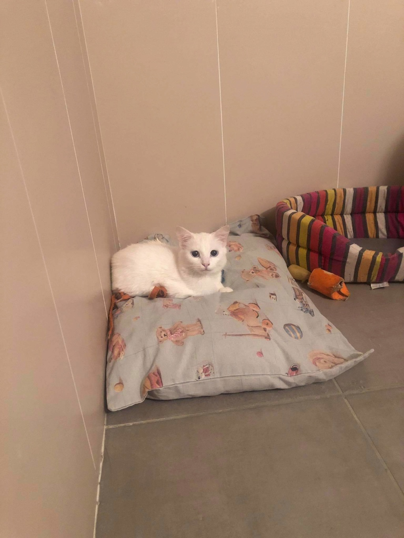 JUNE, jeune chatte blanche aux yeux bleus de 4,5 mois environ Recei172