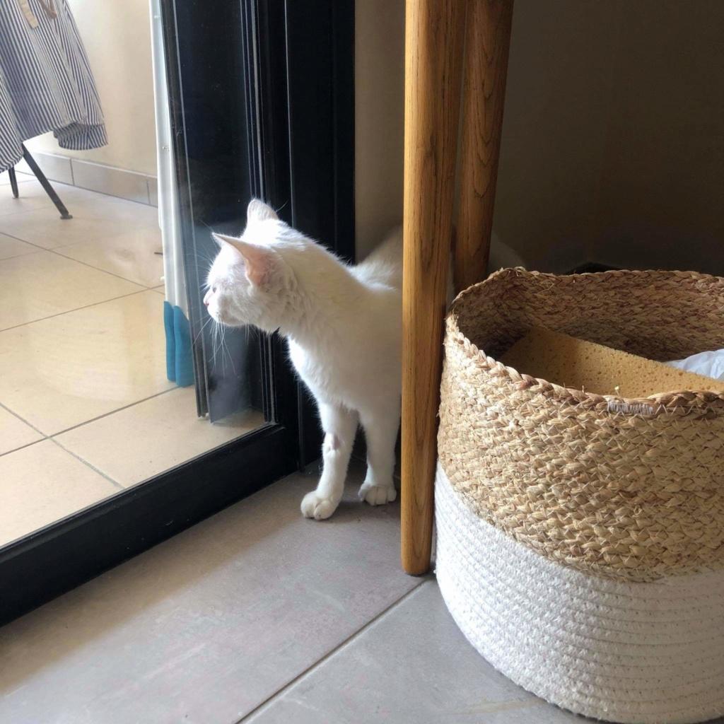 JUNE, jeune chatte blanche aux yeux bleus de 4,5 mois environ Recei174