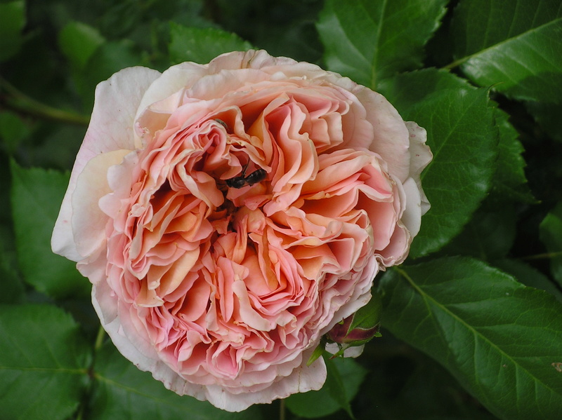 'Abraham Darby' !!! - Page 4 Imgp0010