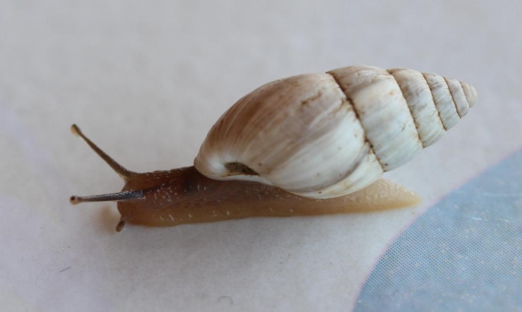 Zebrina detrita (Müller, 1774) B310