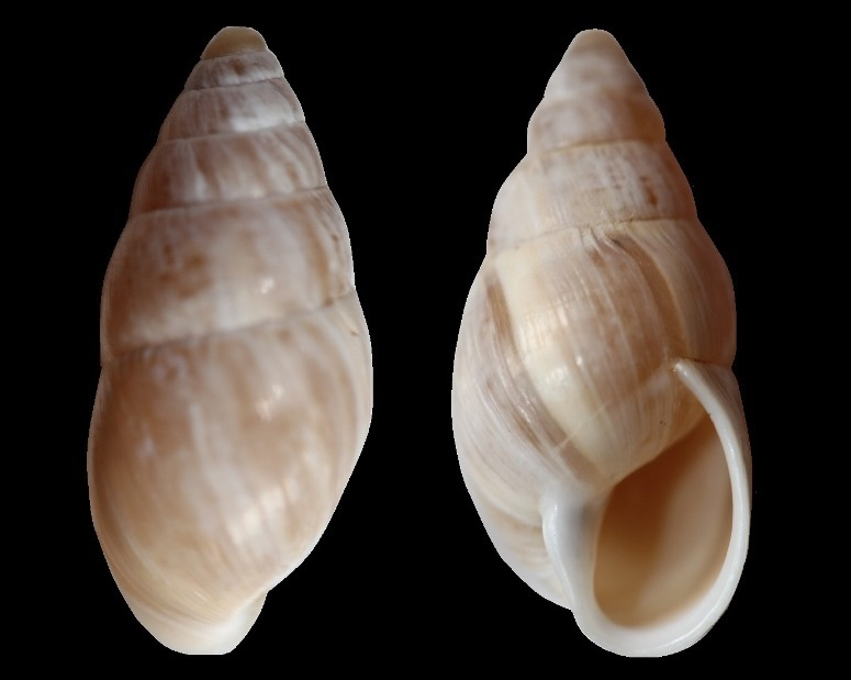 Zebrina detrita (Müller, 1774) B_1210