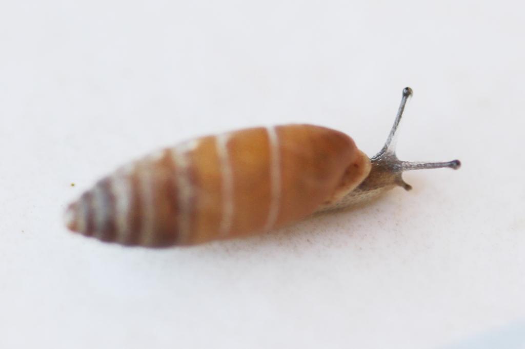 Jaminia quadridens f. elongata (Moquin-Tandon, 1856) Clausi12