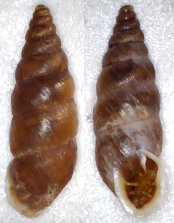 Chondrina tenuimarginata (Des Moulins, 1835) Clausi12