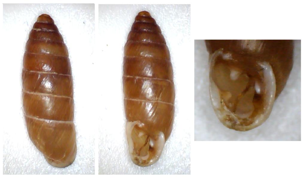 Jaminia quadridens f. elongata (Moquin-Tandon, 1856) Clausi17