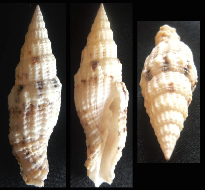 Vexillum mirabile (A. Adams, 1853) P1050110