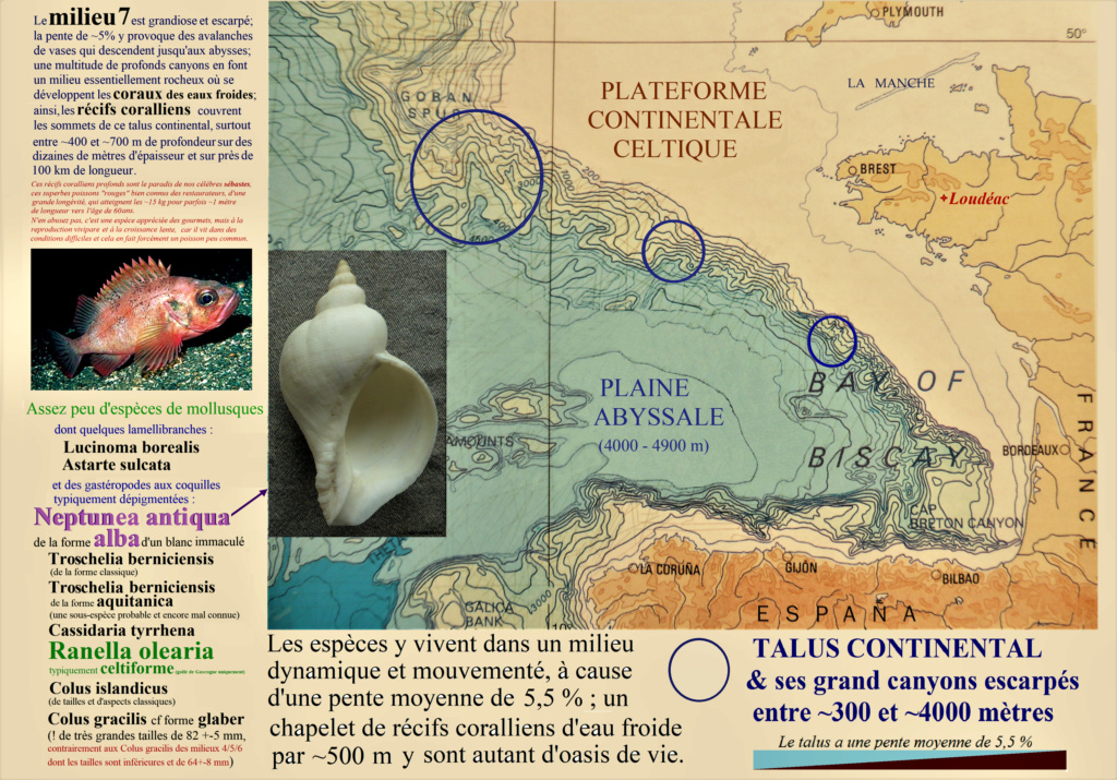 Ranella olearium (Linnaeus, 1758) ??? Milieu10