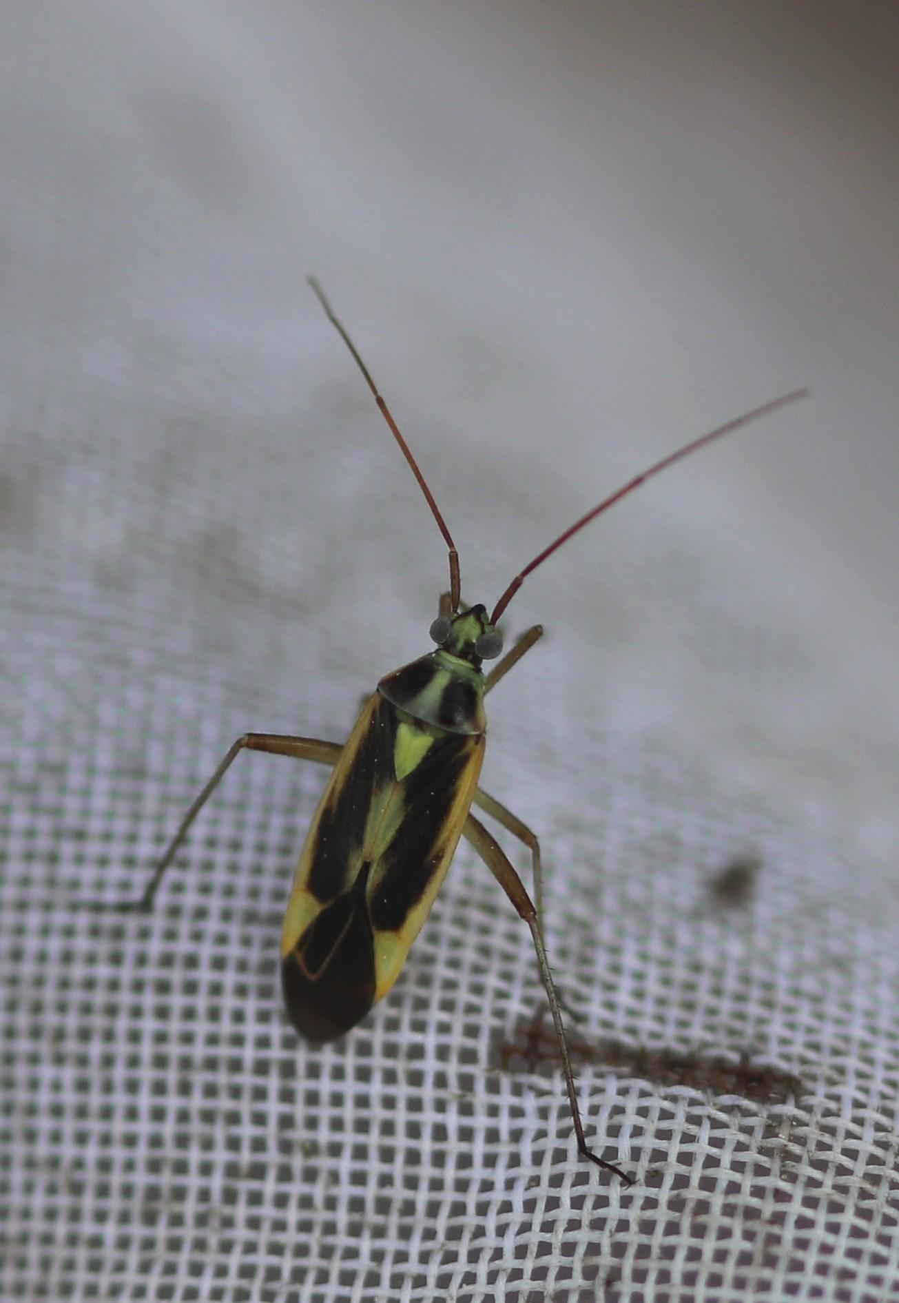 [Stenotus binotatus] Calocoris stysi ? Caloco12