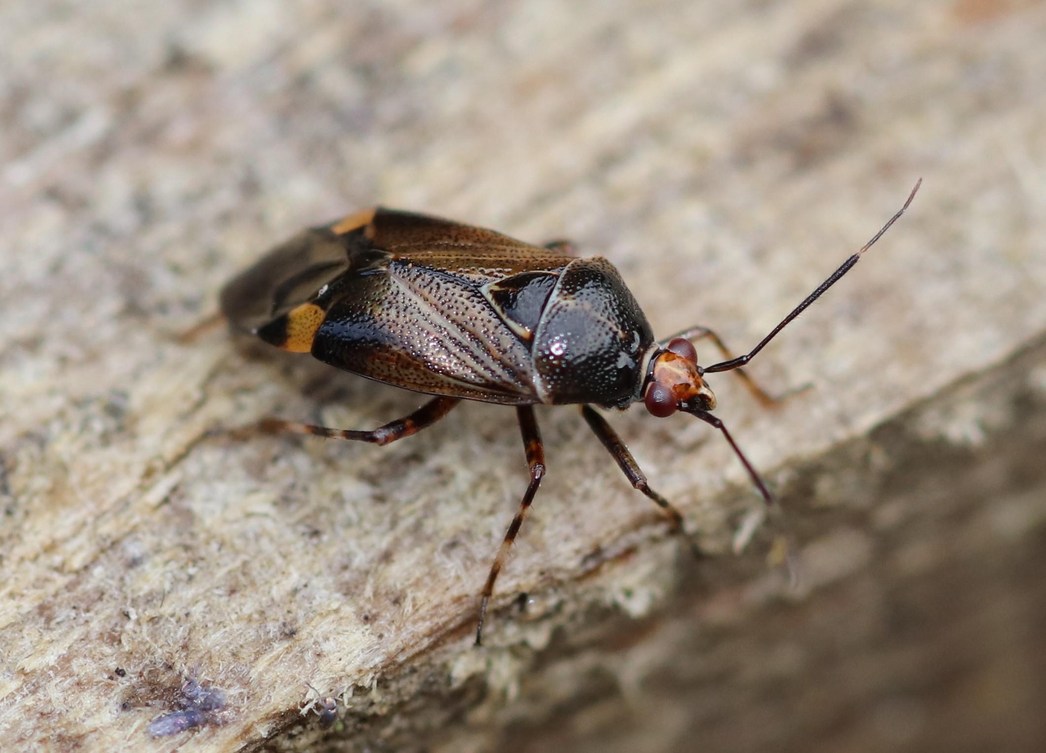 [Deraeocoris flavilinea] Deraeocoris ruber  Deraeo10