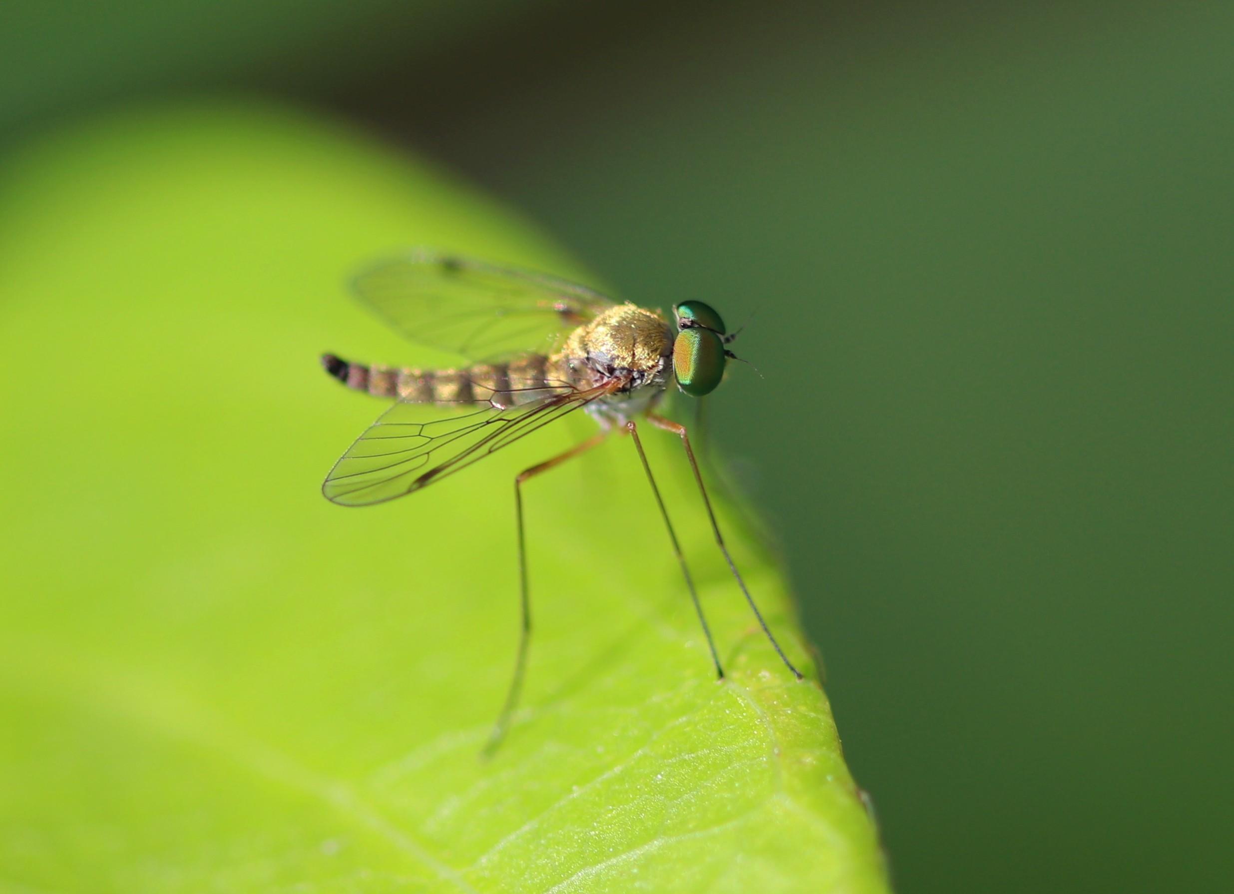 [Chrysopilus asiliformis] fluette aux beaux yeux ? Diptyr10
