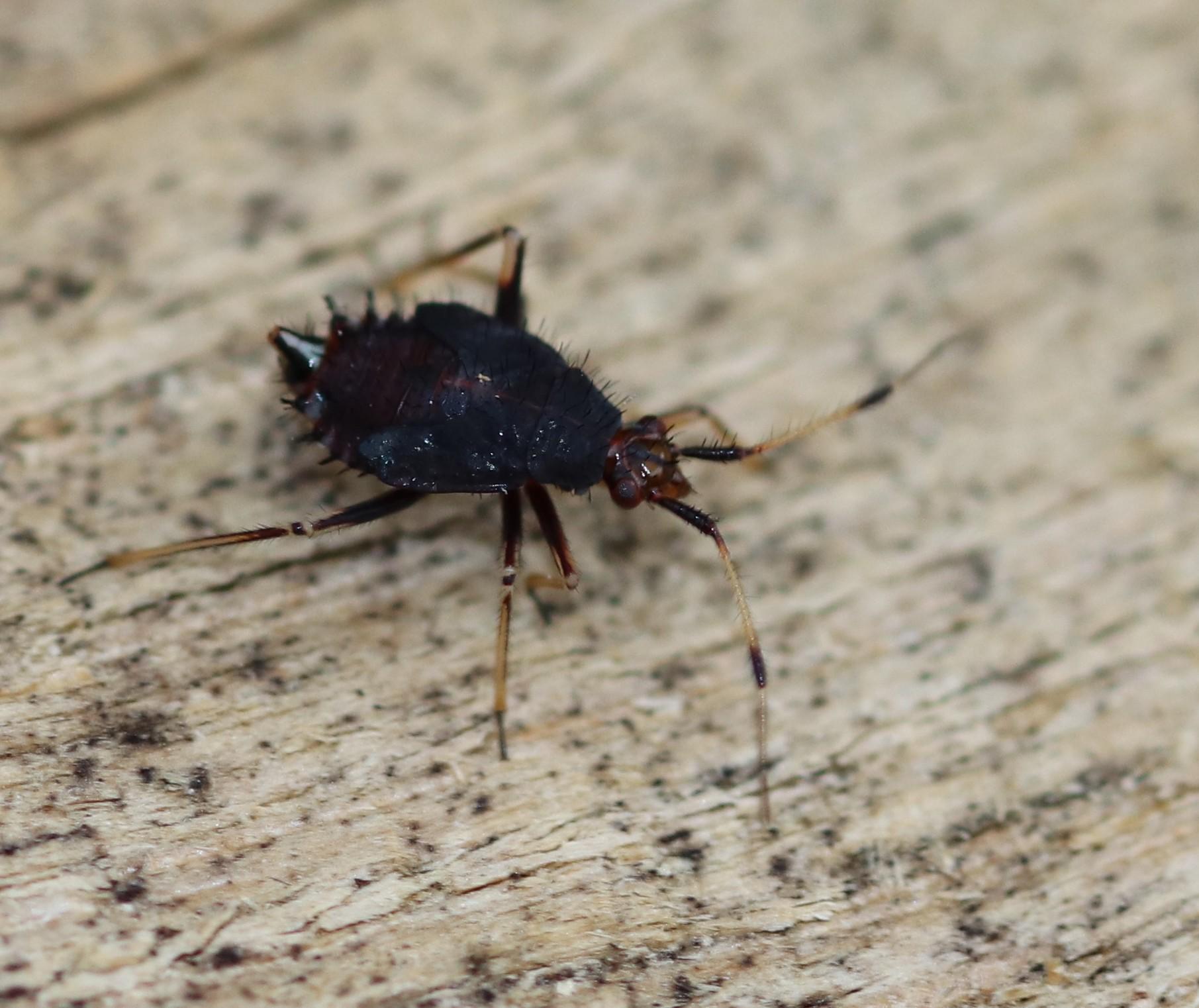 [Deraeocoris ruber_Juvénile] une larve ? Hymi_111