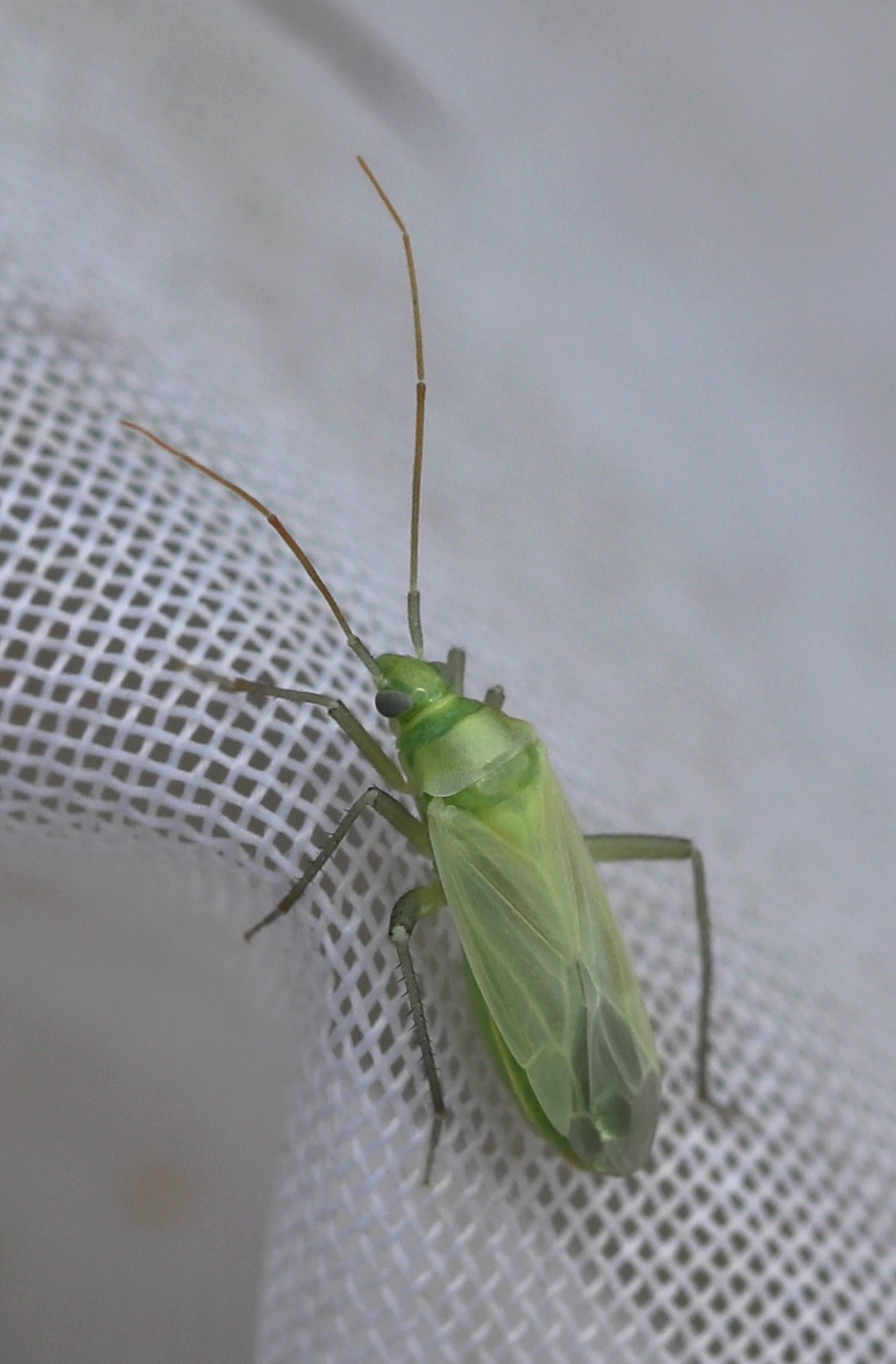 [Adelphocoris sp.] Une verte glabre Hymi_810