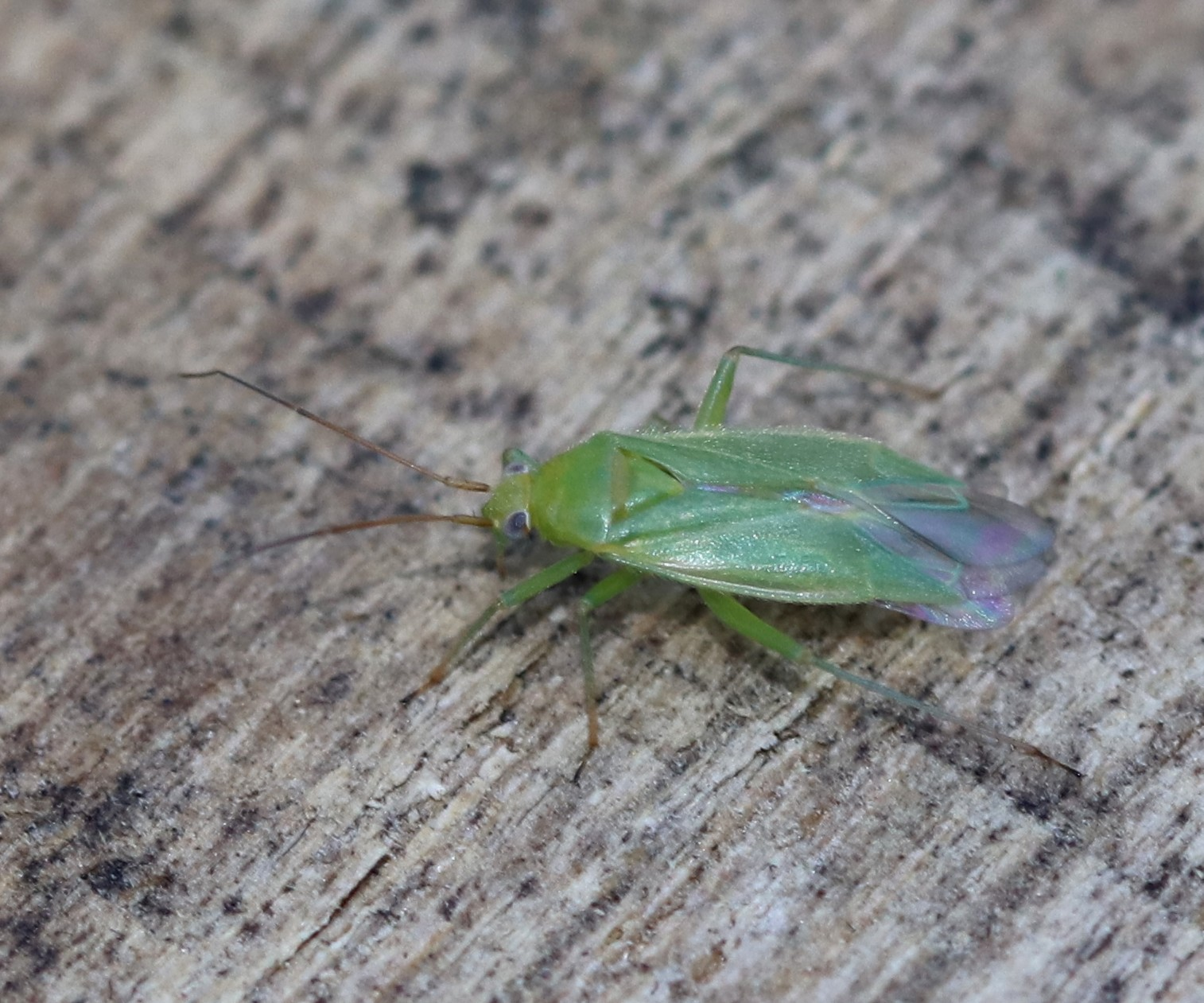 [Miridae sp.] Lygocoris pabulinus ? Lygoco10