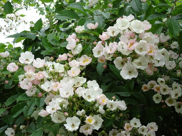 pétales en folie Roses110