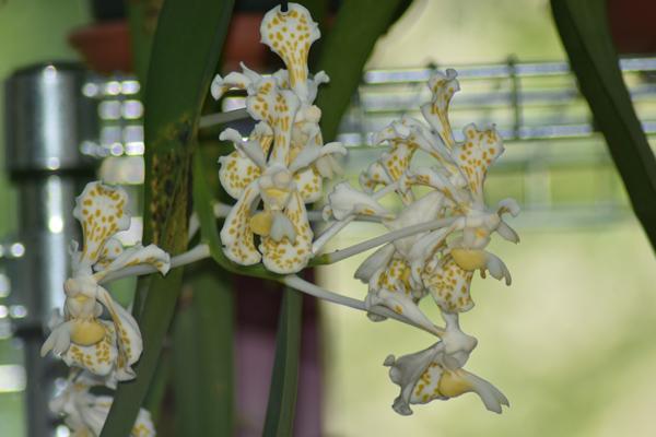 orchidées - floraisons du moment 2018 - Page 3 Vanda_10