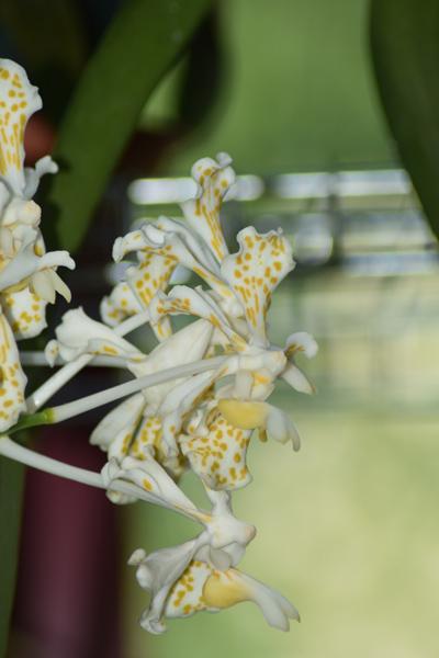 orchidées - floraisons du moment 2018 - Page 3 Vanda_11