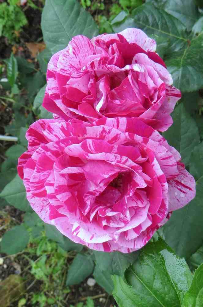 Rosa 'Ferdinand Pichard' - Page 3 Ferdin10
