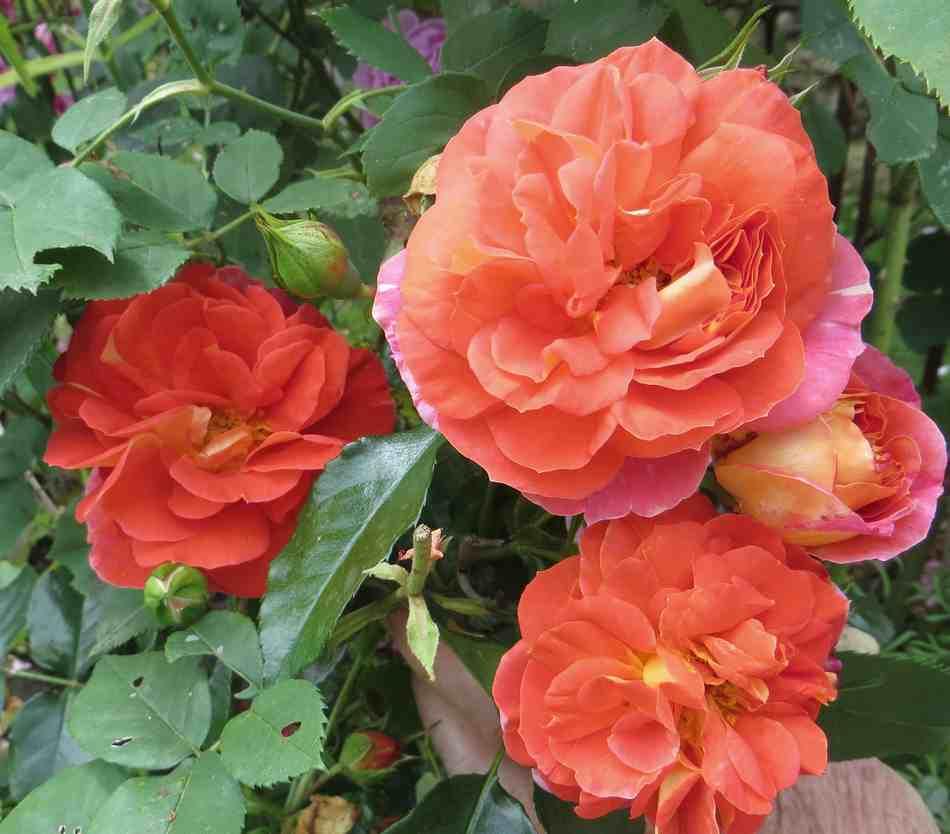 rosier joli tambour Joli_t10
