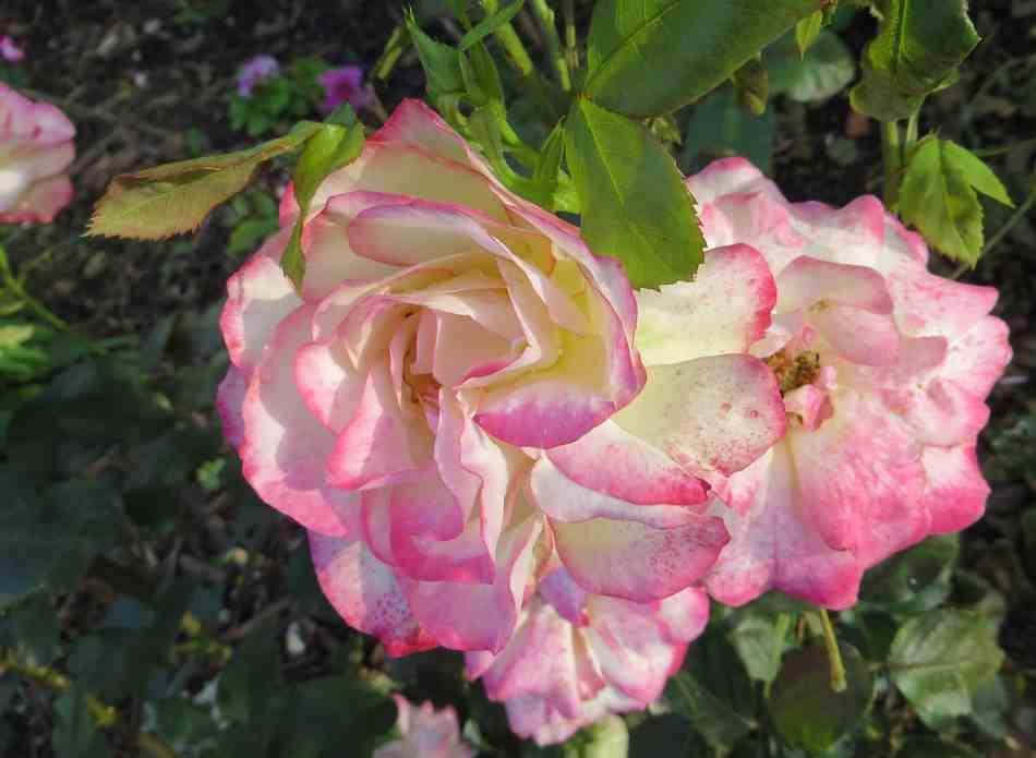 Rosa 'Jubile du Prince de Monaco' - Page 2 Jubily10