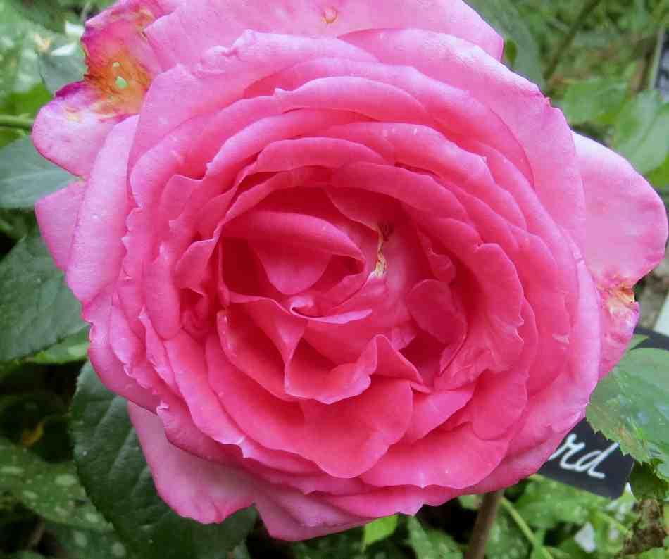 Rosa 'La Rose de Molinard' !!! La_ros10
