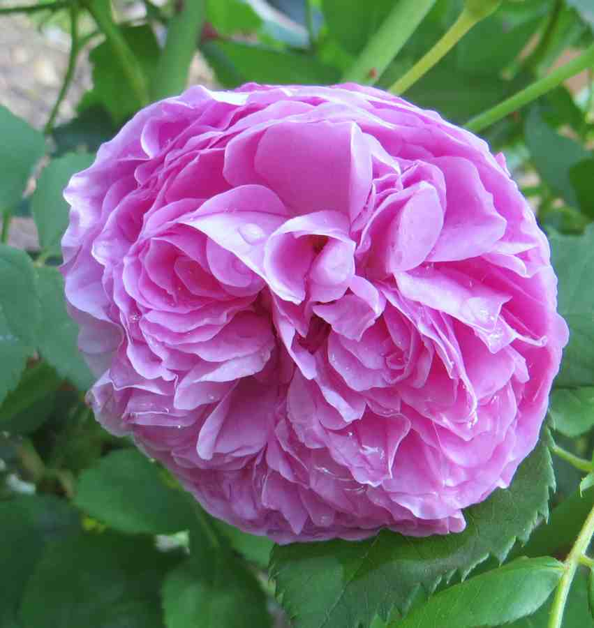 Rosa Louise Odier  Louise10