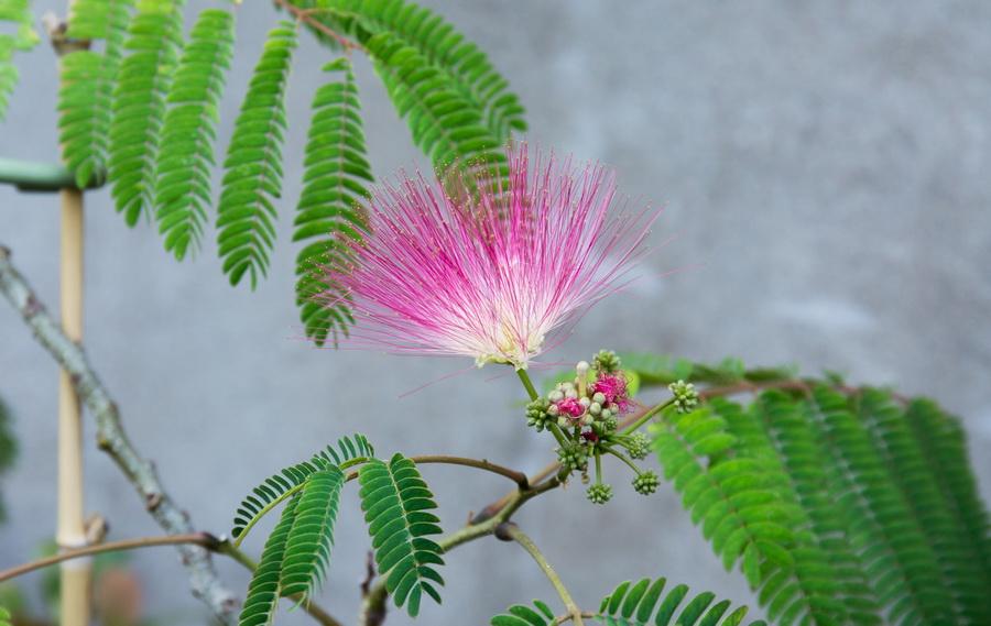Projet bonsai de Albizia julibrissin  Img3_129