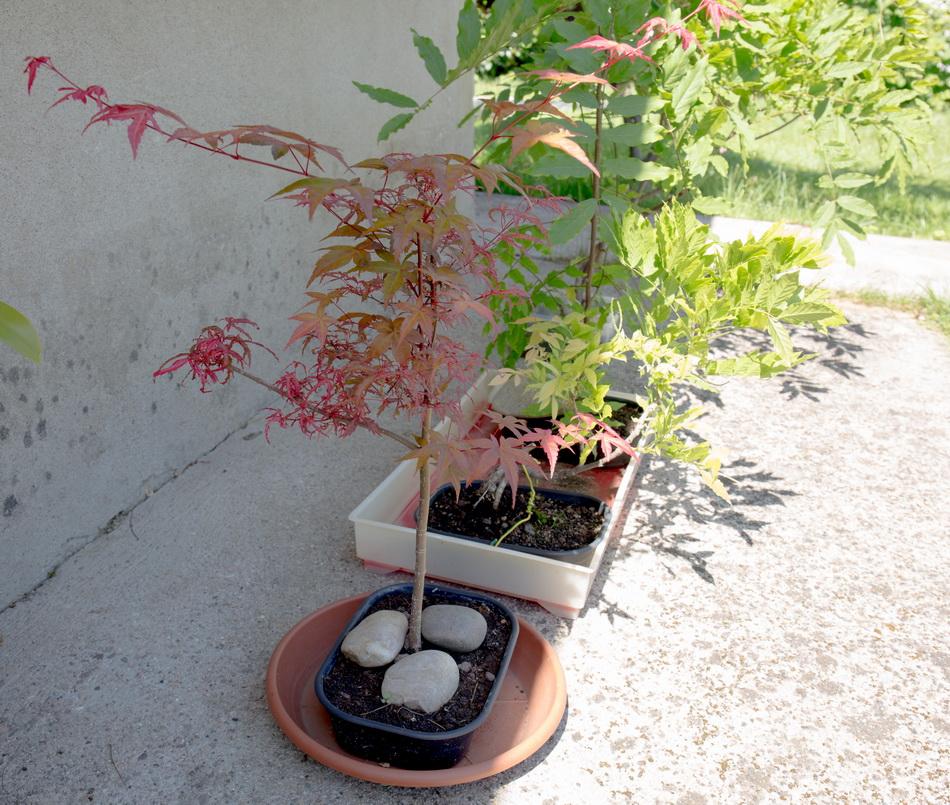 Acer palmatum Beni Komachi Img3_315