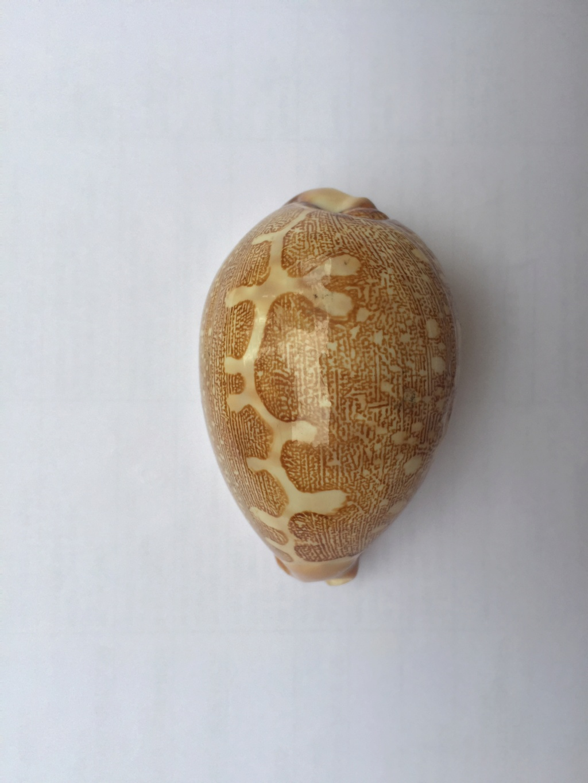 Leporicypraea - 1 Img_8117
